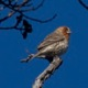 house finch red